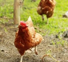 chickens-running