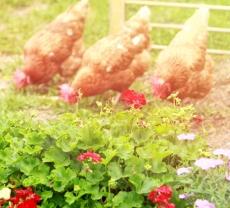 three-chickens